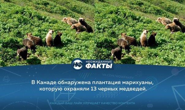 С енот медведями марихуаны плантация до от конопли смотреть я выращивание видео а