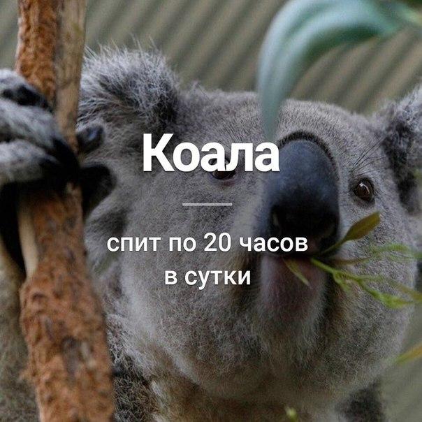 Ты как коала милая и дрыхнешь по 18 часов открытка, картинки контрабас